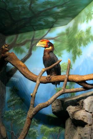 Blyth`s hornbill Rhyticeros plicatus, or Papuan hornbill in a zoo Stock Photo