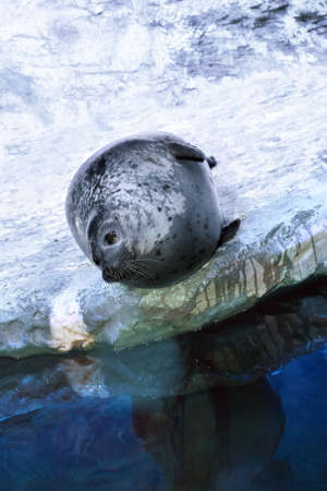 Spotted common Seal or Harbor seal (Phoca vitulina) lies on the shore near the water in the aquarium