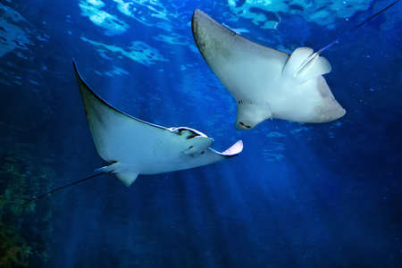Two eagle ray Myliobatidae with his wing fully opened and flying in sea depth