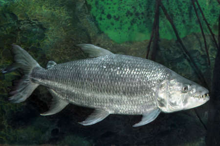 Hydrocynus goliath the African tigerfish,  close up photo showing its large sharp teeth while swimming on a aquarium