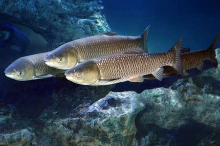 Grass carp (Ctenopharyngodon idella). Freshwater fish. Stockfoto