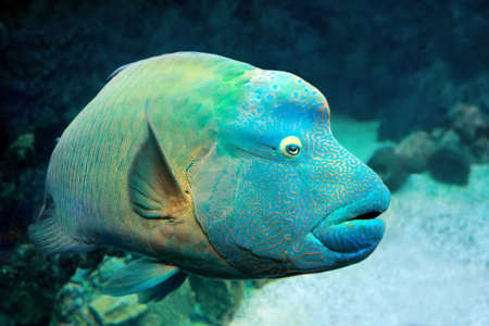 Fish Napoleon Wrasse (Cheilinus undulatus) on a coral reef. Close up Stock Photo