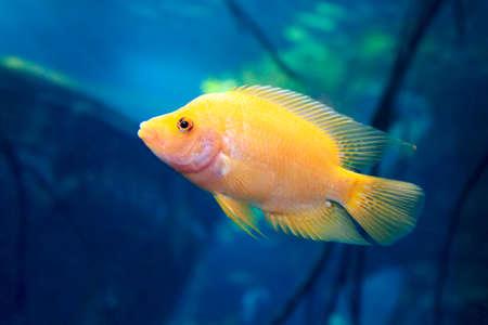 Labidochromis caeruleus yellow freshwater aquarium fish.