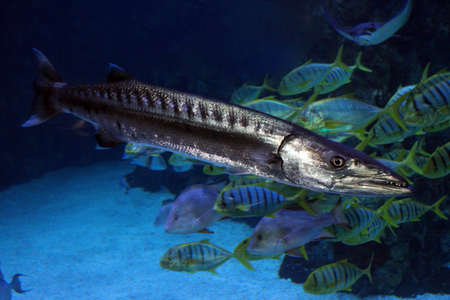 Sphyraena barracuda, or Great barracuda in sea water.