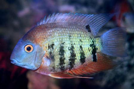 Red Shoulder Severum (Heros efasciatus) beautiful ornamental fish from Amazon