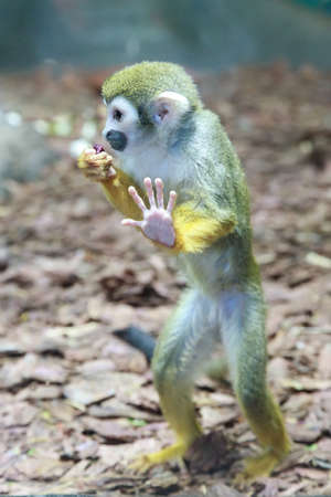 Squirrel monkey (Saimiri boliviensis) standing on hind legs in the zoo.