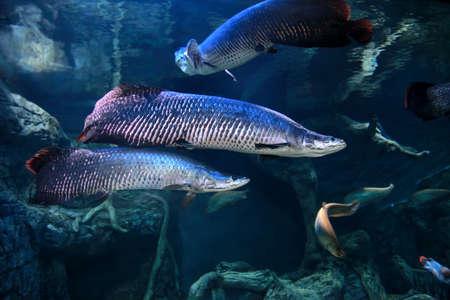 Arapaima (Sudis gigas), also known as the pirarucu in freshwater aquarium 스톡 콘텐츠