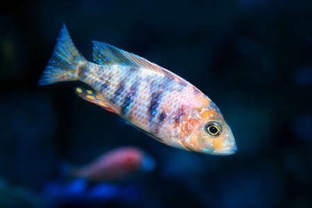 African Malawi Cichlid in freshwater aquarium
