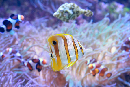 Copperbanded Butterfly fish Chelmon Rostratus on background of sea anemone and anemonefish