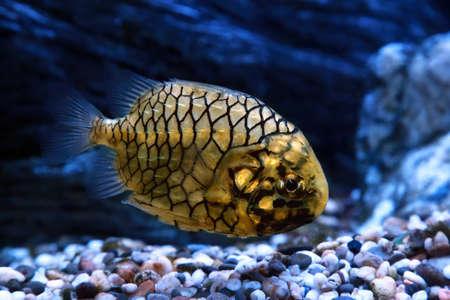 Pinecone fish or Monocentris japonica in aquarium fishtank