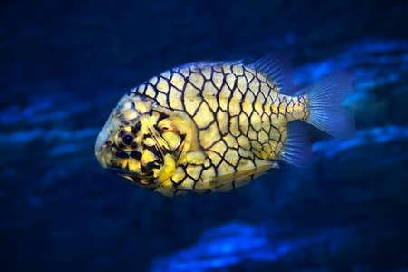Pinecone fish or Monocentris japonica in aquarium fishtank Stock Photo