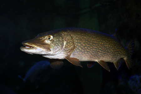 Freshwater fish pike perch (Sander lucioperca) in the aquarium