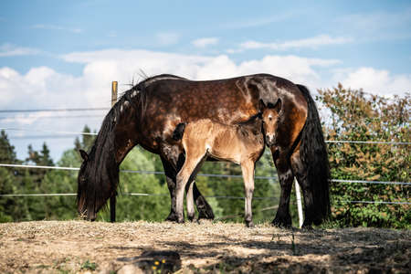 New born foal on a farm in Norway