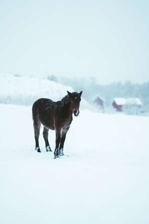 Nordland horse in south Norway Stock fotó