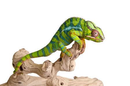 Colorful chameleon photo