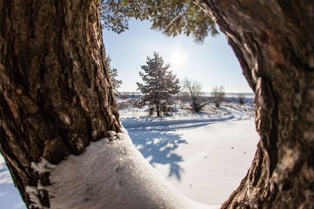 forked: Forked pine on the background of a winter landscape