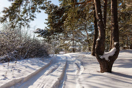 on forked: Forked pine on the background of a winter landscape