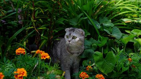 scottish straight: cute funny cat Scottish Straight in the jungle