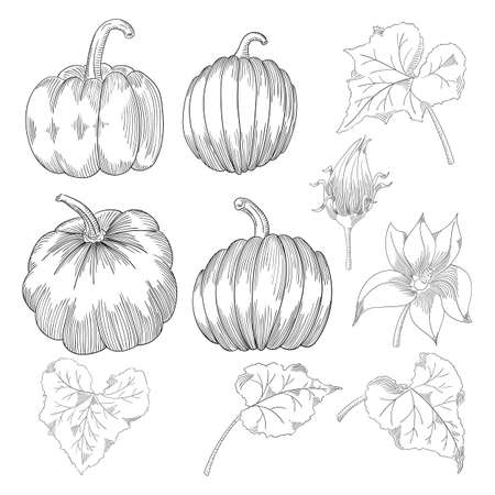 Pumpkin vector drawing set. Isolated hand drawn object with sliced and leaves. Vegetable engraved style illustration. Detailed vegetarian food sketch. Farm market product. Stockfoto - 128519615