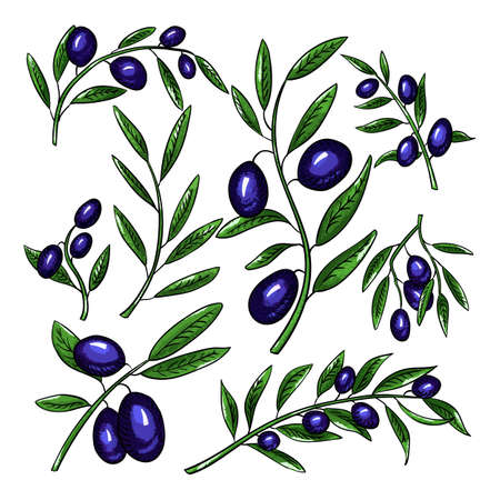 Olive branches with fruits color illustrations set. Olea europaea twigs linear botanical sketches. Healthy, balanced nutrition ingredient. Natural, organic farming produce. Olive oil source Ilustracja
