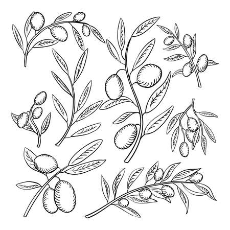 Olive branches with fruits outline illustrations set. Olea europaea twigs linear botanical sketches. Healthy, balanced nutrition ingredient. Natural, organic farming produce. Olive oil source