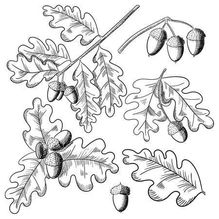 Vector oak leaf and acorn drawing set. Autumn elements.  イラスト・ベクター素材