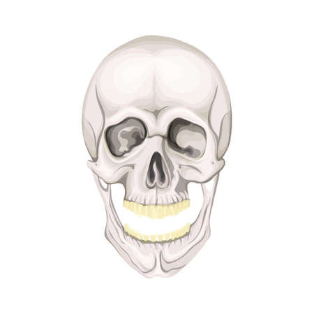 The human skull isolated on white background. Vector illustration.