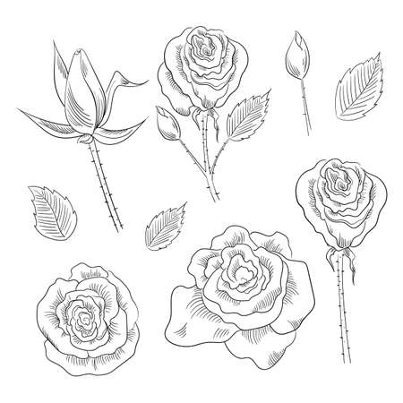 Hand drawn set of roses, rose buds and leaves Illustration