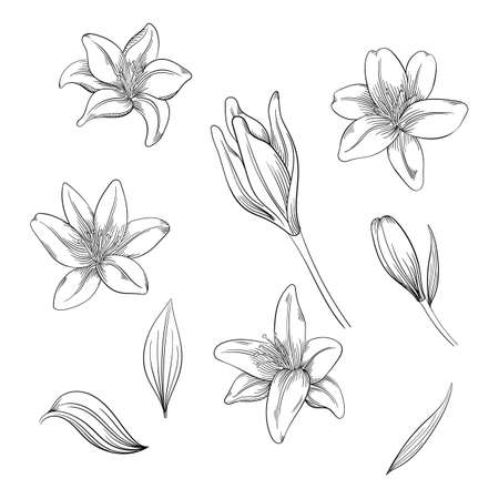Colorful of lilies flower on white background. Vector set of blooming floral for your design. Ilustracja