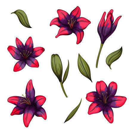 Colorful of lilies flower on white background. Vector set of blooming floral for your design. Illustration