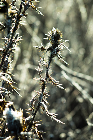 the dried thorn bush under the first snow