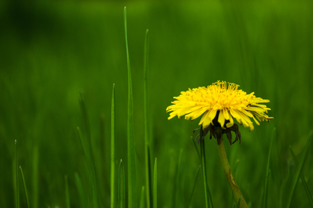yellow dandelion flower on the clearing Stockfoto