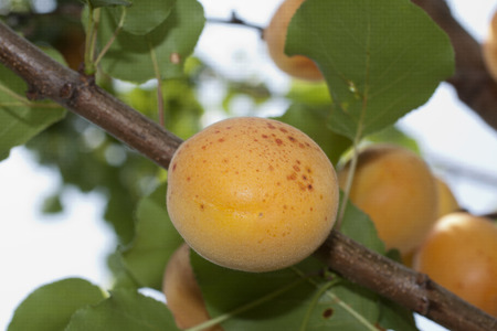 typical apricots of Ligurian riviera called valleggia on the tree