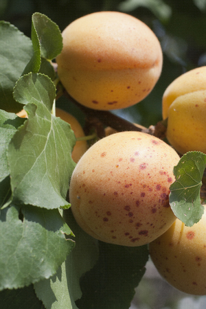 typical apricots of Ligurian riviera called valleggia, on the tree Stock Photo