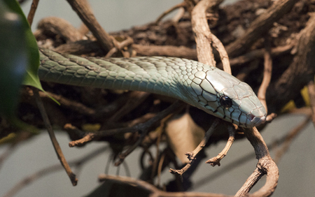 snakes, in exibition at Natural Historical Museum of Genoa, Italy Stock Photo