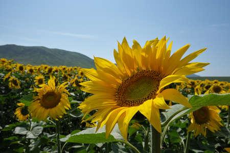bright yellow sunflower field in Eastern Kazakhstan in summertime