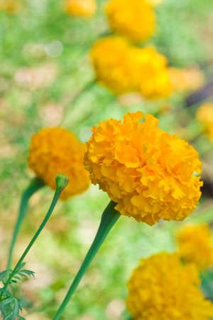 Close-up of Calendula Officinalis (marigold)  on the coloful fowers backround photo