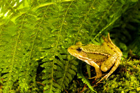 green frog sitting on moss with ferns Stock Photo - 13322728