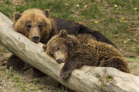 cub sleeping on the trunk of a fallen tree beside mother bear