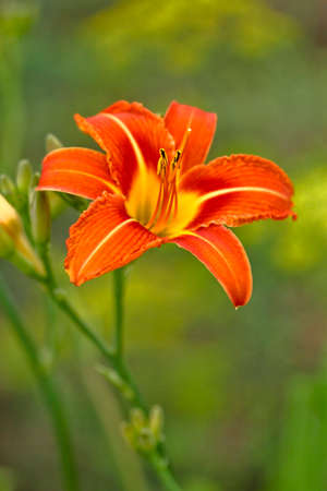 perennials: daylily flower blooming perennials in the colors red orange yellow