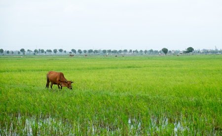 Rice paddy being worked by a water buffalo in Hoi An, Vietnam. Stock Photo