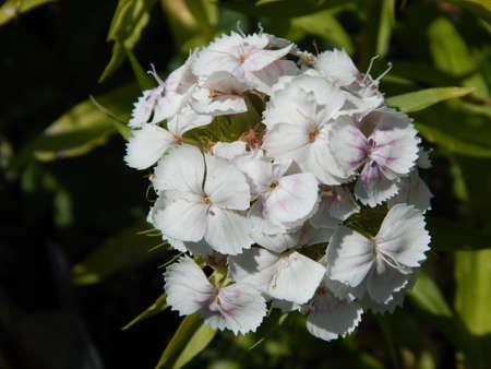 dacha: white flower