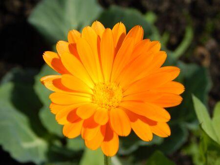 dacha: sun flower Stock Photo