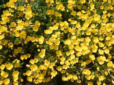 dacha: yellow flowers