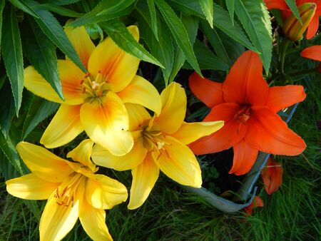 Red and yellow lilies