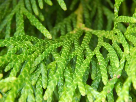 enebro: Juniper green