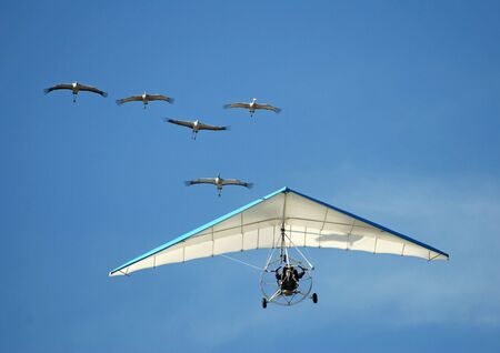 trained: Human - bird interaction. A man flying with a flock of cranes raised and trained by him.