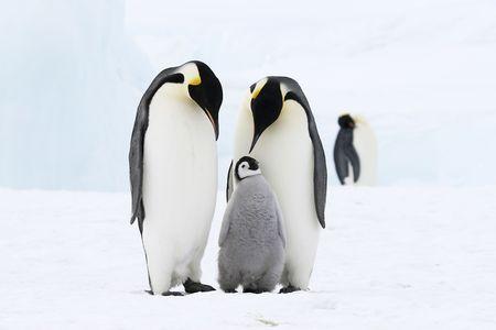 pinguins: Manchots empereurs sur la banquise dans la mer de Weddell, en Antarctique
