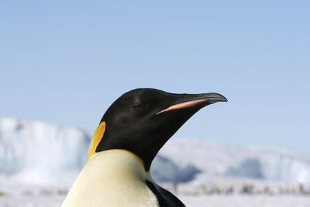 Emperor penguins on the sea ice in the Weddell Sea, Antarctica Stock Photo - 5332301
