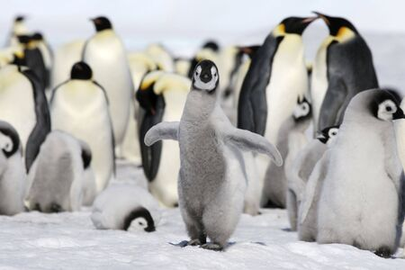 Emperor penguin chick (Aptenodytes forsteri) on the ice in the Weddell Sea, Antarctica photo